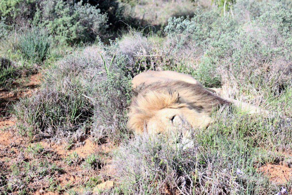 Leão em safári na África do Sul