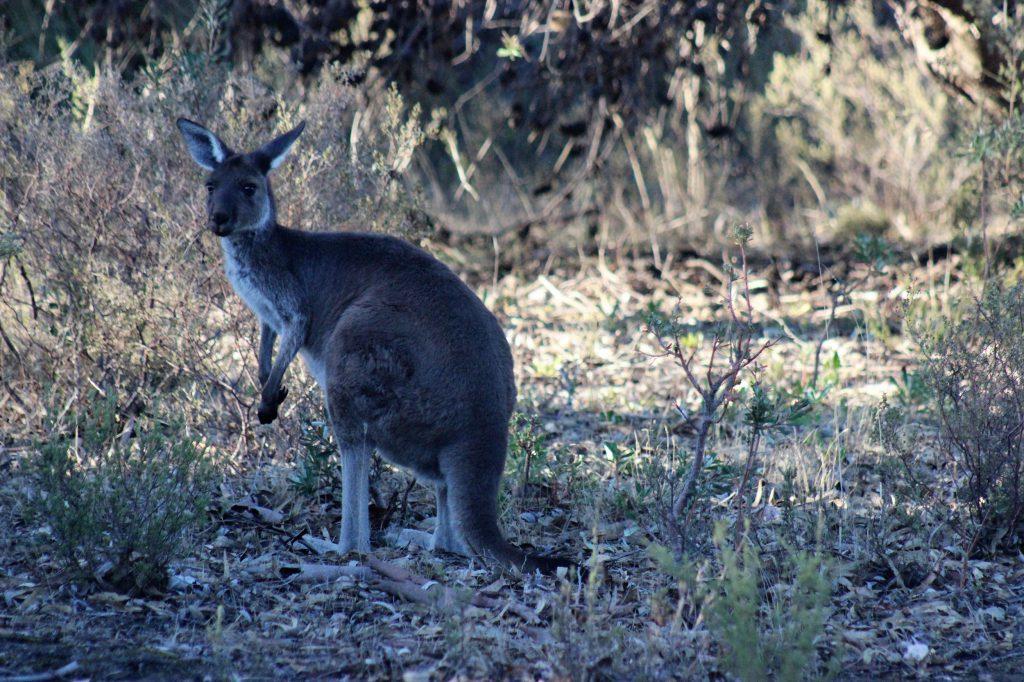 Canguru The Louise Barossa Valley